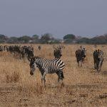zebra pure safaris
